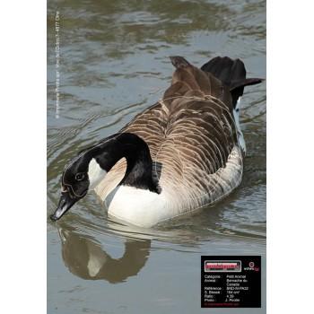 Blason Birdy Canadian Goose