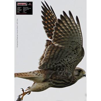Blason Birdy Faucon